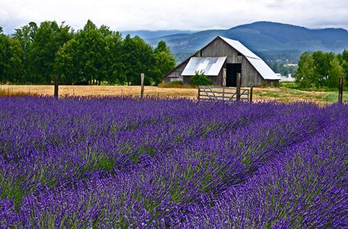 lavender and barn