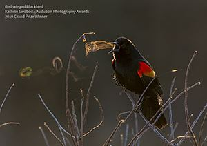 2019 Winners - Grand Prize - Red-winged Blackbird